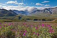 Dwarf fireweed in pink summer bloom, clouds over the Alaska Range mountains and gorge creek near Eielson visitor's center, Denali National Park, Interior, Alaska.