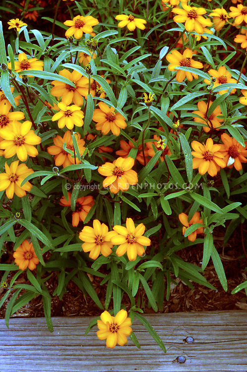 Zinnia angustifolia 'Star Orange' (Narrow Leaf Zinnia)