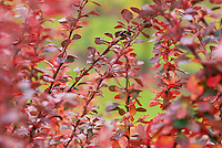 Berberis thunbergii 'Rose Glow' (Japanese Barberry) detail of leaves