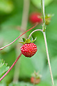 Wild strawberry (Fragaria vesca), late May.