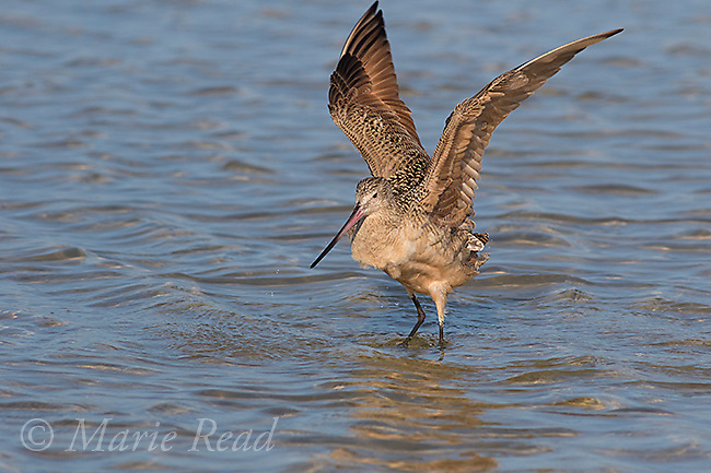 Marbled Godwit (Limosa fedoa) flapping wings after bathing, Fort De Soto Park, Florida, USA