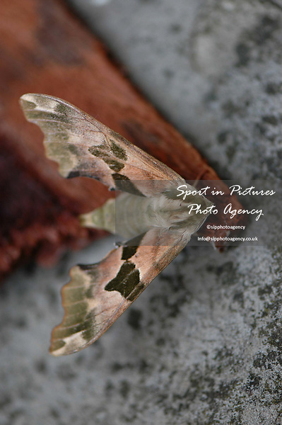 A Lime Hawk-moth on a piece of bark