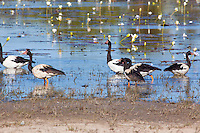 Magpie Geese, near Normanton, Queensland, Australia