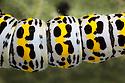 Mullein moth {Shargacucullia verbasci} caterpillar. Devon, UK. June.
