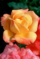 Rosa 'Rio Samba' Hybrid Tea Rose 1993 AARS red pink yellow changeable mutable colors