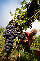 "07/09/18<br /> <br /> ***With Video***<br /> <br /> Kieran Smith.<br /> <br /> Grape picking starts at Amber Valley Wines in Wessington, Derbyshire. Managing Director, Barry Lewis, said: ""The hot summer means that yields from the vineyard are expected to be three times better than normal, reflecting a UK-wide harvest that is likely to be the best since the second world war"".<br /> <br /> <br /> All Rights Reserved: F Stop Press Ltd. +44(0)1335 344240  www.fstoppress.com www.rkpphotography.co.uk"