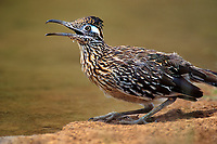 576018098 a wild greater roadrunner geococcyx californianus drinks at a small pond on a private ranch in the rio grande valley of south texas
