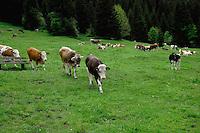 Calfs in meadow. Ruette, Austria.