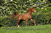 Bob, ANIMALS, REALISTISCHE TIERE, ANIMALES REALISTICOS, horses, photos+++++,GBLA3993,#a#, EVERYDAY