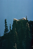 Mountain goat billies resting in a cool, safe spot on mountain top.  Summer. Pacific Northwest.