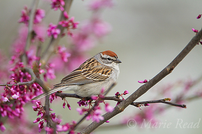 Chipping Sparrow (Spizella passerina) perched in flowering redbud in spring, New York, USA