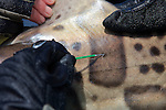 Tag Attached to Leopard Shark