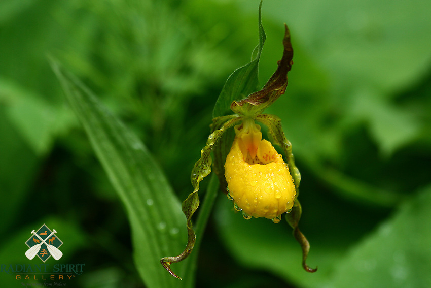 &quot;Yellow Moccasin Flower&quot;<br />