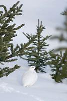 White-tailed Ptarmigan (Lagopus leucurus)