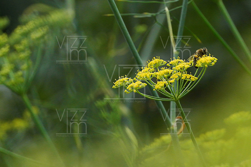 Abeja chupando nectar en un arbusto de hinojo en el Jardín Botánico, José Celestino Mutis, de la ciudad de Bogotá, Colombia./ Bee sucking nectar on a fennel bush seen at the Botanic Garden, Jose Celestino Mutis, in Bogota, Colombia. Photo: VizzorImage/ Gabriel Aponte / Staff