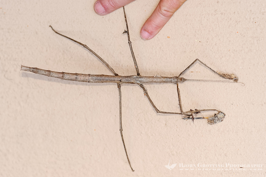 Stick insect at Pestana Kruger Lodge, Kruger National Park, South Africa.