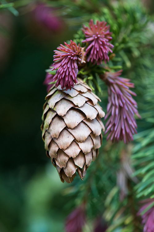 Norway spruce (Picea abies 'Cruenta Clone 11'), late April. Cones and new foliage growth.