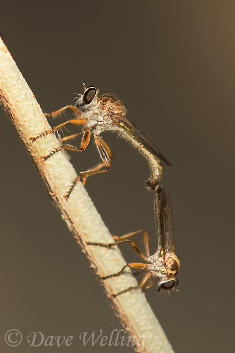 386020002 a pair of wild robber flies polacantha grossa mating at the santa ana national wildlife refuge in south texas