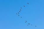 Graugans, Greylag Goose, Illmitz, Nationalpark Neusiedlersee, Seewinkel, Bezirk Neusiedl am See, Burgenland, Austria, Österreich.