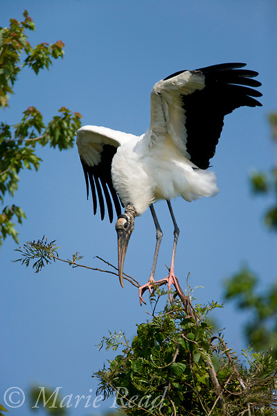 Wood Stork (Mycteria americana), with outspread wings as it regains its balance on a perch, Lake Marian, Florida, USA