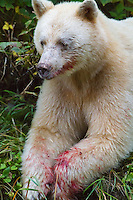 Spirit Bear 'Ringer' finished Salmon feast