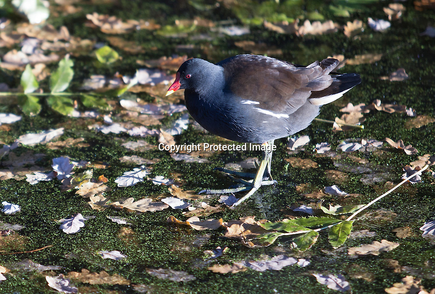 29/11/16<br /> <br /> Moorhen walks ion frozen canal.<br /> <br /> Temperatures this morning plunged to an icy minus three degrees celsius making the Cromford Canal freeze over near Matlock, Derbyshire.<br /> <br /> All Rights Reserved F Stop Press Ltd. +44 (0)1773 550665