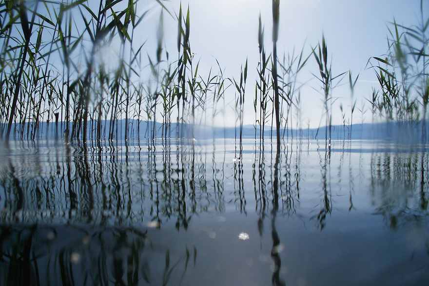 Giant Reed, Arundo donax, <br /> Lagadin region. Lake Ohrid (693m).<br /> Galicica National Park, Macedonia, June 2009<br /> Mission: Macedonia, Lake Macro Prespa /  Lake Ohrid, Transnational Park<br /> David Maitland / Wild Wonders of Europe