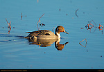 Northern Pintail Male at Sunset, Drake, Bosque del Apache Wildlife Refuge, New Mexico