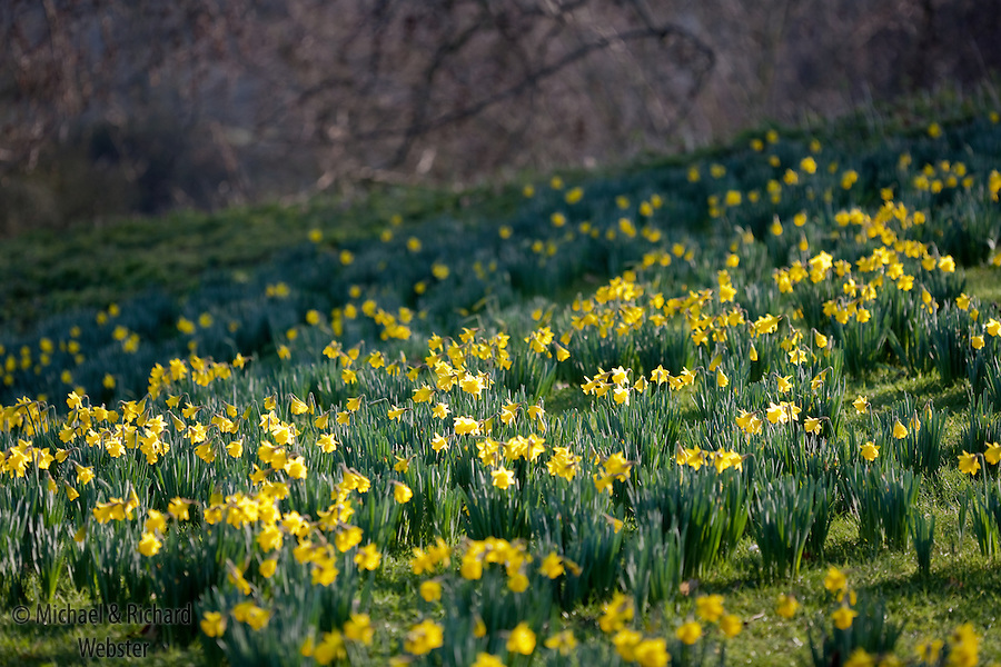 The UK daffodil industry is the largest in the world, worth an annual 31 million.