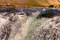 Leaper, Salar The Atlantic Salmon running into Laxa In Kjos Iceland