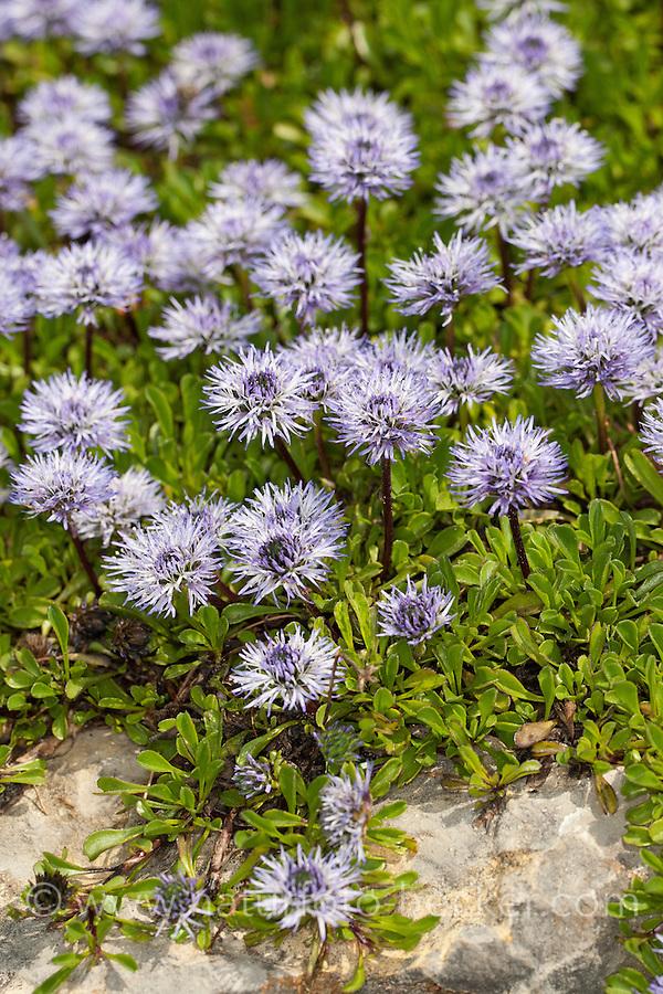 Herzblättrige Kugelblume, Herzblatt-Kugelblume, Globularia cordifolia, Globe Daisy, heart leaf globe daisy, heart-leaved globe daisy