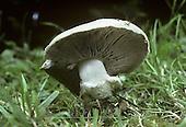 Field Mushroom - Agaricus campestris