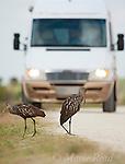 Limpkins (Aramus guarauna) pair on a dirt road with approaching vehicle, Viera, Florida, USA