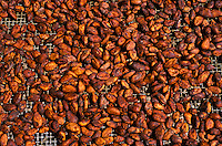 Drying cacao (chocolate) beans; Big Island of Hawaii.