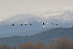 Canada geese flying over Kootenai National Wildlife Refuge during spring migration with the Selkirk mountains in the background