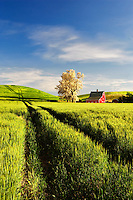 Red barn and blooming tree with rolling hills of wheat and tractor tracks. The Palouse near Colfax, Washington