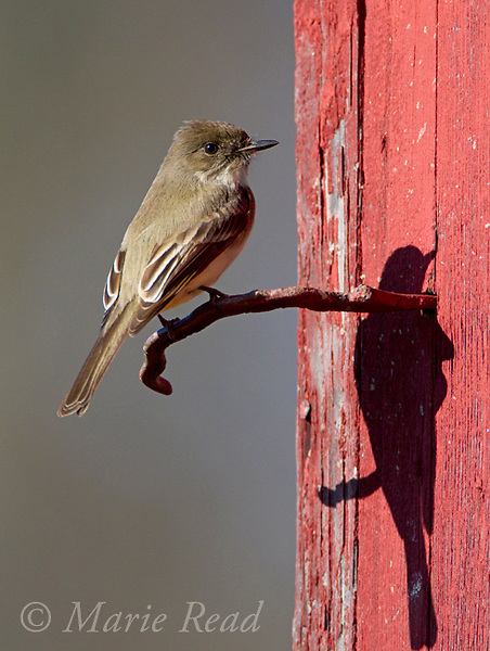 Eastern Phoebe (Sayornis phoebe) on perch on siding of red barn, New York, USA