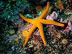 Blood Star (Henricia leviuscula) star fish