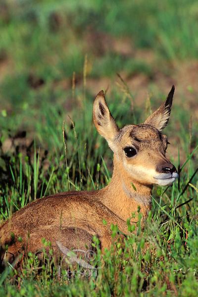 My295  Pronghorn Antelope fawn resting.  Western U.S., June.