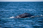 San Diego, California; a Gray Whale breaks the surface for a breath of air while migrating south towards Mexico