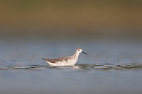 Wilson's Phalarope (Phalaropus tricolor), East Pond, Jamaica Bay Wildlife Refuge