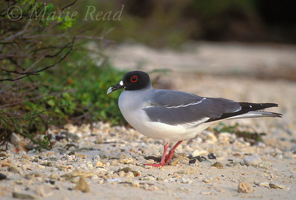 Swallow-tailed Gull (Creagrus furcatus) adult, Genovesa, Galapagos Islands, Ecuador<br /> B59-1021