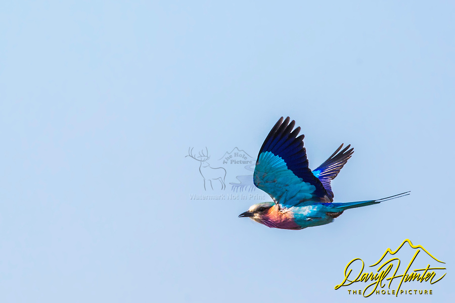 Lilac Brested Roller in flight of Sabi Sands Game Reserve, South Africa