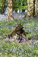 Bluebells (Hyacinthoides non-scripta) in a wood, Whitewell, Clitheroe, Lancashire. Other names Auld Man's Bell, Calverkeys, Culverkeys, English Bluebell, Jacinth, Ring-o'-Bells, Wilde Hyacinth, and Wood Bells.