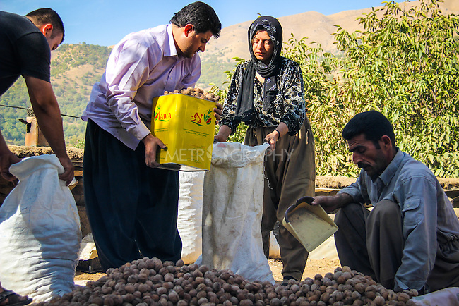 5/10/2012--Syagwez,Sulaimaniyah,Iraq-- After three days of drying the walnuts in the sun Zmnako is supervising the way walnuts are mixed together because each walnut is different from another, they came from different trees.