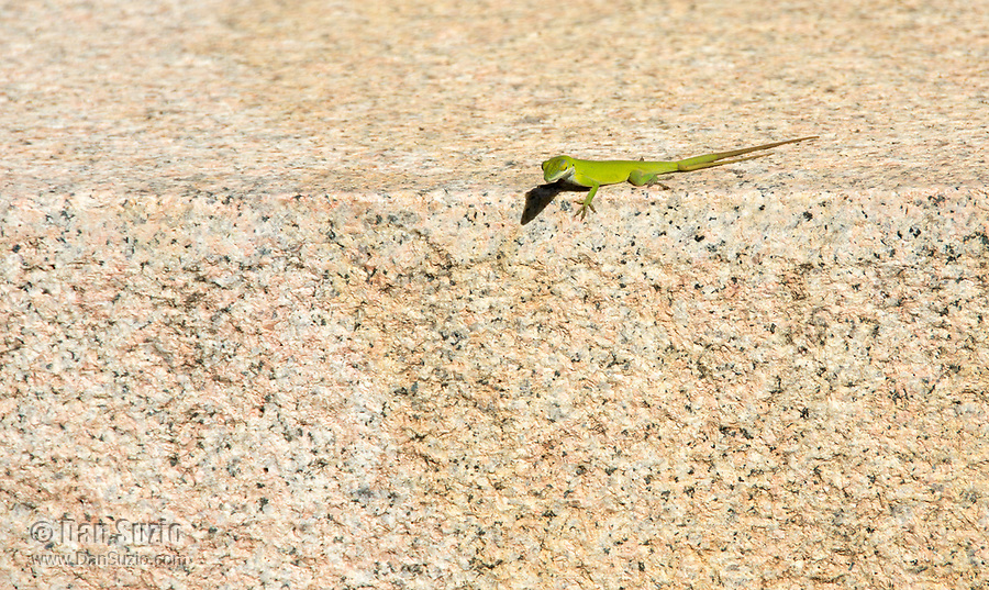 A Cuban Green Anole, Anolis porcatus, on the base of a monument in Camagüey, Cuba. This individual has an extra tail, which can happen when the original tail is injured but not completely severed, and a new tail is regenerated at injury.