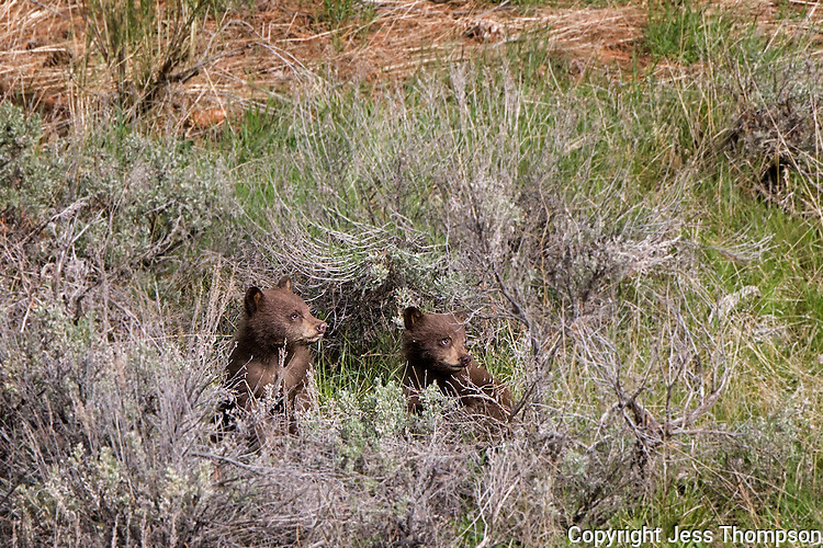 Cinnamon colored black bear cubs, Yellowstone National Park