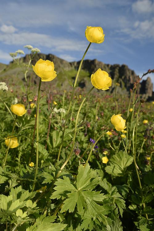Globeflower - Trollius europaeus