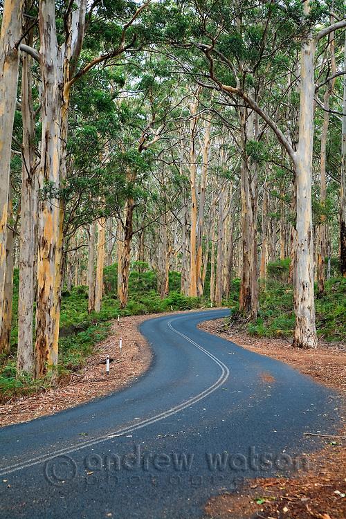 Driving through the Boranup Karri Forest, near Margaret River in the Leeuwin-Naturaliste National Park, Western Australia, AUSTRALIA.