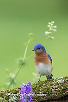 01377-17917 Eastern Bluebird (Sialia sialis) male in flower garden, Marion Co., IL